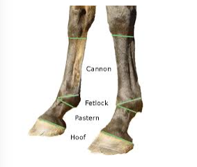 The horse runs on a modification of the 3rd digit. Each of the three finger bones, called phalanges are there, making up the hoof, fetlock, and pastern. P2 is called the intermediate phalanx, and P1 is the proximal phalanx. When we place rings on our fingers we encircle P1, the first phalanx.