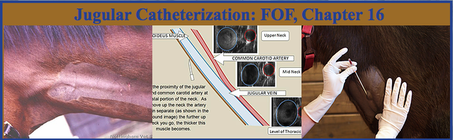 Jugular Catheterization