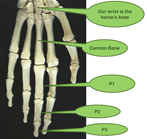Cannonbone