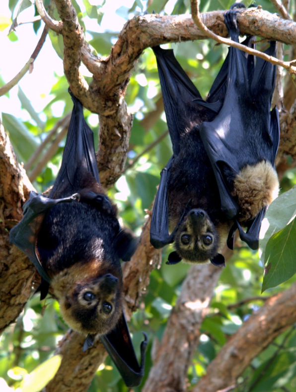 3Australia's Flying Foxes Death From Dow