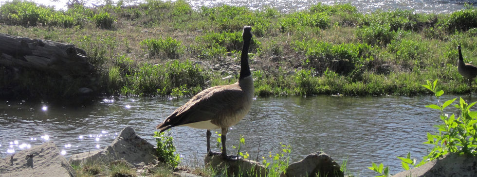 Goose on banks of Crystal River