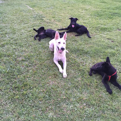 "Leia, Shadow, Lucy and Cam learning ""down"" command"