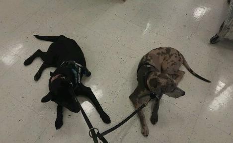 Shadow & Laina obediance training