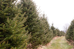 Maine Christmas Trees