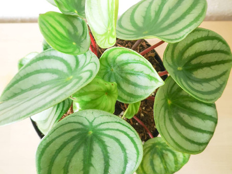 On the Sill | Watermelon Peperomia