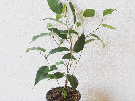 On the Sill | Weeping Fig