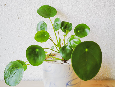 On the Sill | Chinese Money Plant