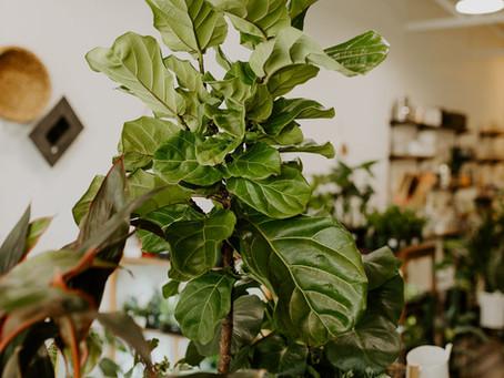 On the Sill | Ficus Lyrata