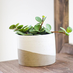 On the Sill - Peperomia Hope