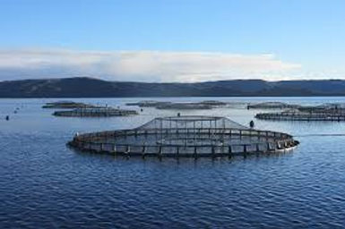tassal salmon.jfif
