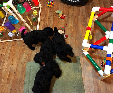 Miniature Red and Black Poodle Puppies
