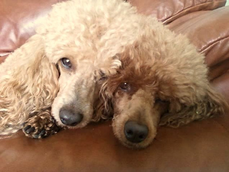 perfect poodle couple