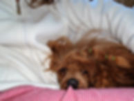 Red Miniature Poodle Pupppies