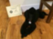 Poodle agility diploma