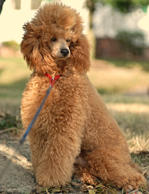 best looking poodle