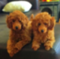 Puppies | Www.danubepoodles.com | United States