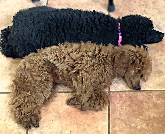 Red and Black Poodle Love