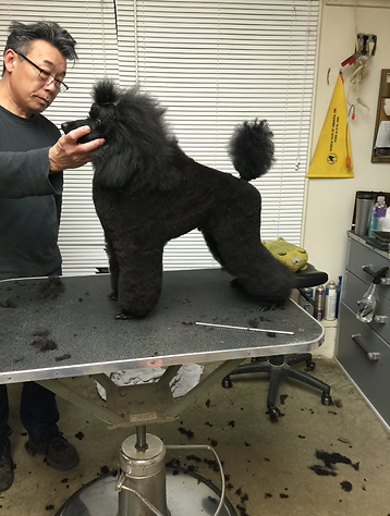 AKC Show Poodle