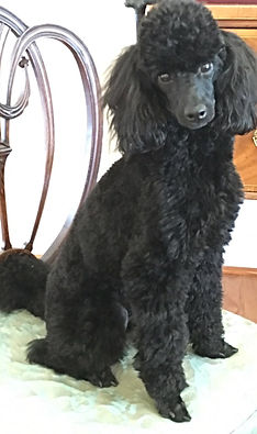 Poodle Puppy Extended Family