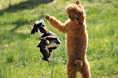 poodles and friends