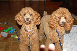 Poodle Extended Family
