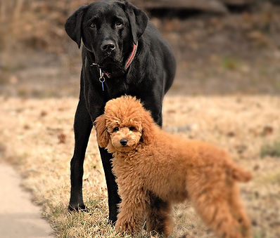 poodle and a labrador friend