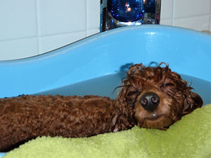 Poodle Spa Day