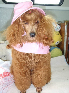 Poodle beauty
