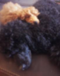 Poodle Cuddle