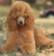 poodle beauty