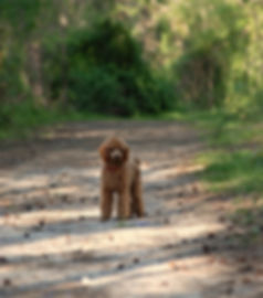 poodle focuse