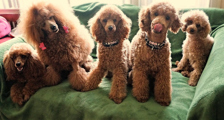 Miniature Poodle Generations