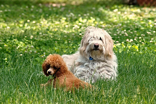 poodle and friends
