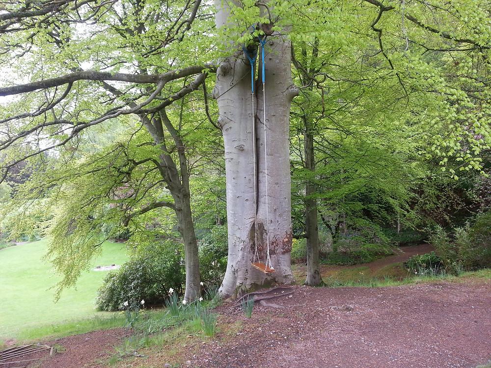 Double Beech tree on Cluny Hill garden