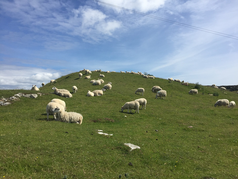 Sheep gathered on one of the Chakra points at Iona