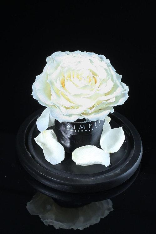 10cm進口保鮮大玫瑰(淡白)