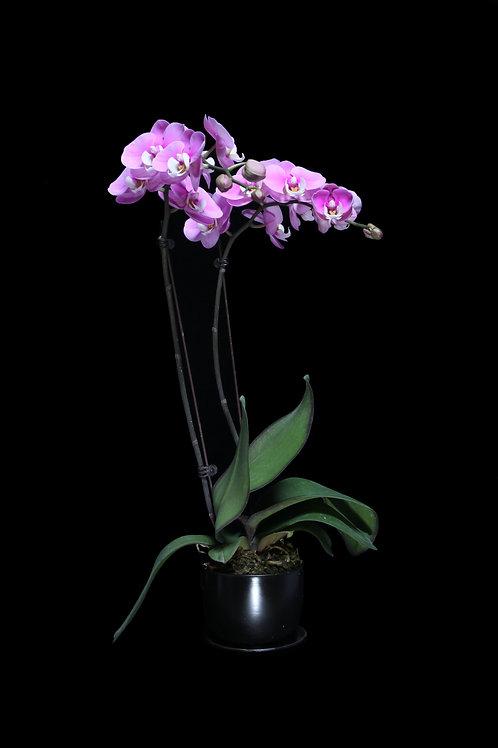 蘭花盤栽 2 枝