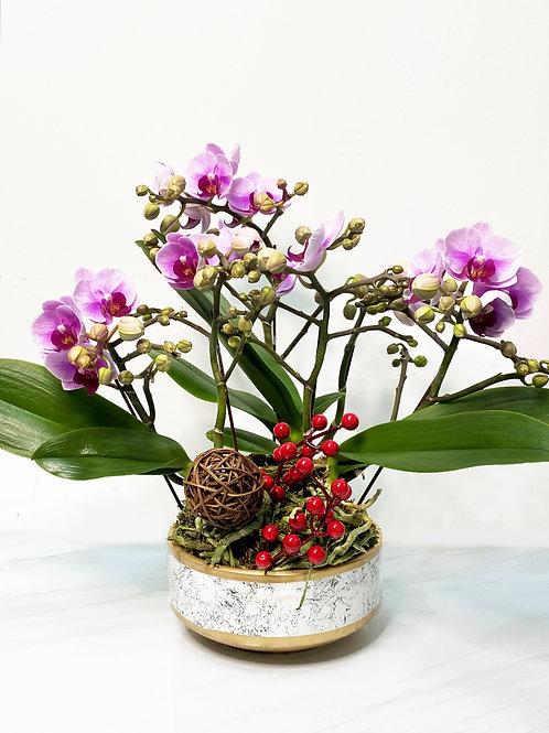 新年台灣迷你蘭花盤栽 6 枝