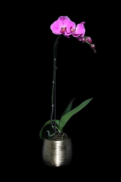 蘭花盤栽 單枝