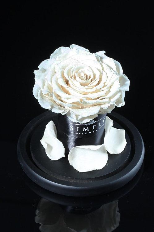 10cm 進口保鮮大玫瑰 (白)