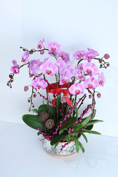 新年蘭花盤栽 6枝 (台灣)