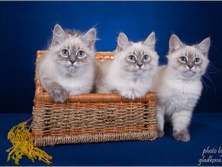 В нашем дружественном питомнике Heaven TurMalin*RU родились очаровательные котята!