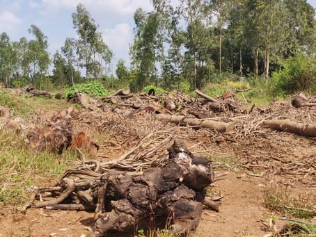 Laws Broken, Forest Hacked To Widen Highway