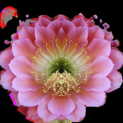 cereus-mirror-2nd-version_edited.png