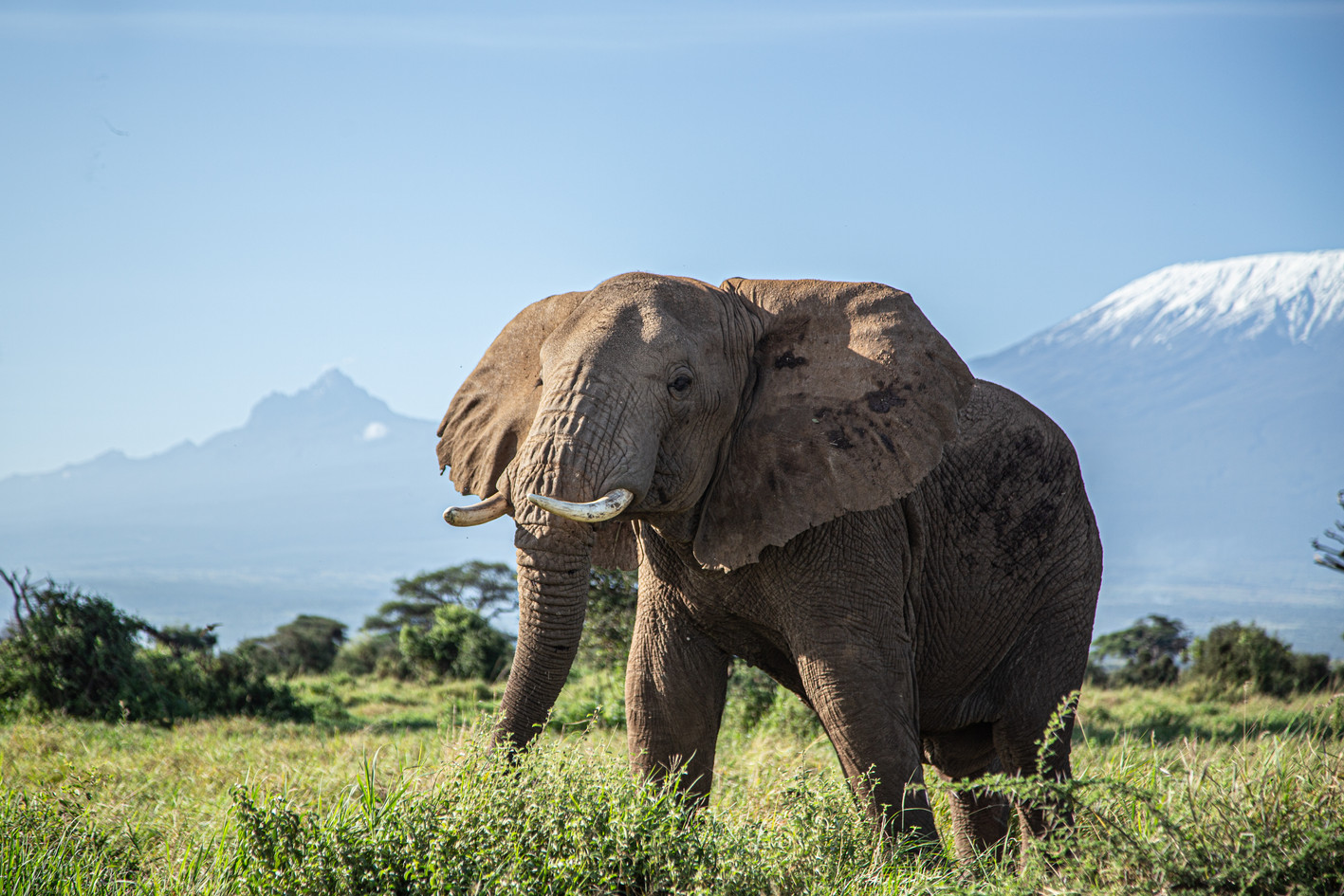 An elephant traverses Tsavo National Park, walking in the shadow of Mount Kilimanjaro