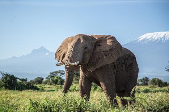 An elephant traverses Tsavo National Park, walking in the shadow of Mount Kilimanjaro
