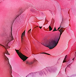 Pink Rose Watercolour