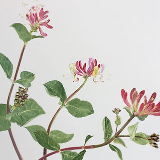 Honeysuckle Watercolour