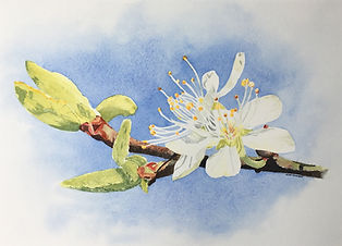 Spring Blossom Watercolour