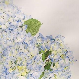 Evan's Blue Hydrangeas